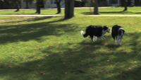 Border Collie Running