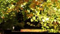 Fall Leaves Stock Video in HD