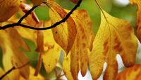 Stock video of autumn leaves blowing in the wind
