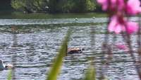 Duck on a Lake Stock Video in HD