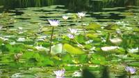 Water Lilies - and I think an alligator checking me out.