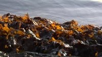 Seaweed and Water Stock Video
