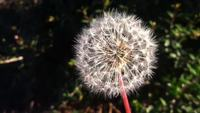 Dandelion Vídeo stock