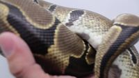 Close Up of a Snake Stock Video in HD