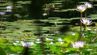 Water Lillies, close up and then Zoom out