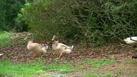 Les canards marchent dans une rangée