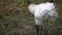 Zwei wirklich, wirklich hässliche Vögel