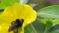 Bumble Bee Stock Video - morts de surdosage de pollen