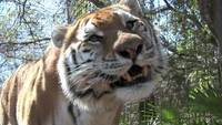 Tiger Stock Video - drehen Sie die Lautstärke herunter