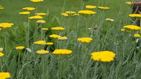 20140614_soudertonpa_yellowflowersbreeze