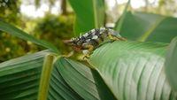 Two Horned Chameleon HD Stock Video