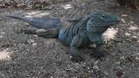 Un clip de una iguana azul