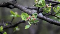 Blooming Apple Tree HD Stock Video