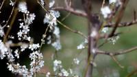 Blooming Cherry Tree Stock Video