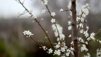 White_cherry_flowers