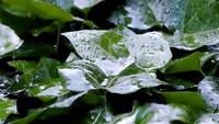 Raindrops on Leaves Stock Footage