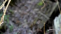 Spider Web in the Wind Royalty Free HD Stock Video