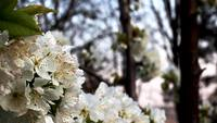 Blossoming White Cherry Tree Free Footage