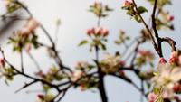 Apple Tree Blooming Vidéo HD gratuite