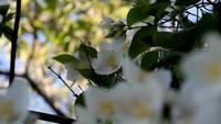 Beautiful White Flowers Royalty Free HD Stock Footage