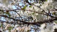 White Cherry Blossoms Footage livre