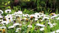Daisy Field Gratis HD Video