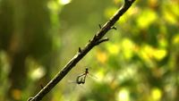 Mating Dragonflies In Flight Shows HD Stock Video