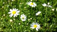Marguerite_hd_stock_video