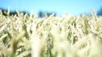 Golden Wheat Field Libres de droits HD Film vidéo
