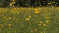 Buttercup Meadow HD Vídeo stock