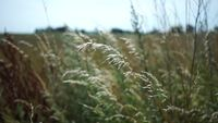 Long Grass in the Wind HD Stock Footage