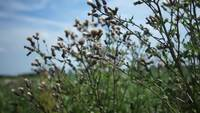 Distel in de Wind HD-Voorraadvideo