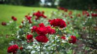 Rose Bushes Gratis Footage