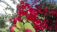 Flores No Jardim Bougainvillea Stock Video