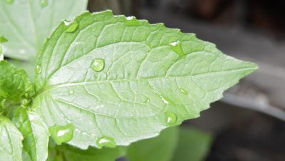 Leaf and Water Drops Stock Video
