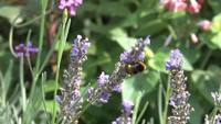 Bi pollinating blommor lager video