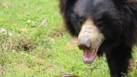 Indian Sloth Bear Stock Video