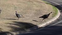 Wild Turkey crosses the road.
