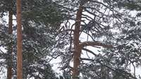 Träd under snö