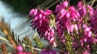 Bee on Flower Video 3