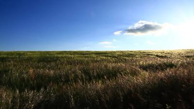 Wheat Field With a Blue Sky Video Footage