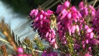 Stock Video Biene auf Heide Blume 3