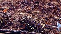 Ants on Pinecone Stock Video