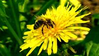 Busy Bee On Dandelion