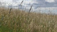 Grain-grass-and-weeds-blowing-in-the-wind-in-a-field-4k-uhd
