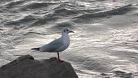 Seagull stock video in Salerno