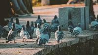 Pigeons Film Style