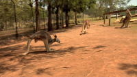 Canguros saltando