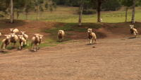 Sheepdog herds sheep in Australia