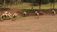 Schäferhundschafe in Australien